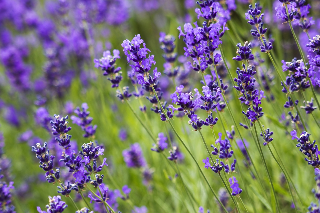 how to use lavender for insomnia