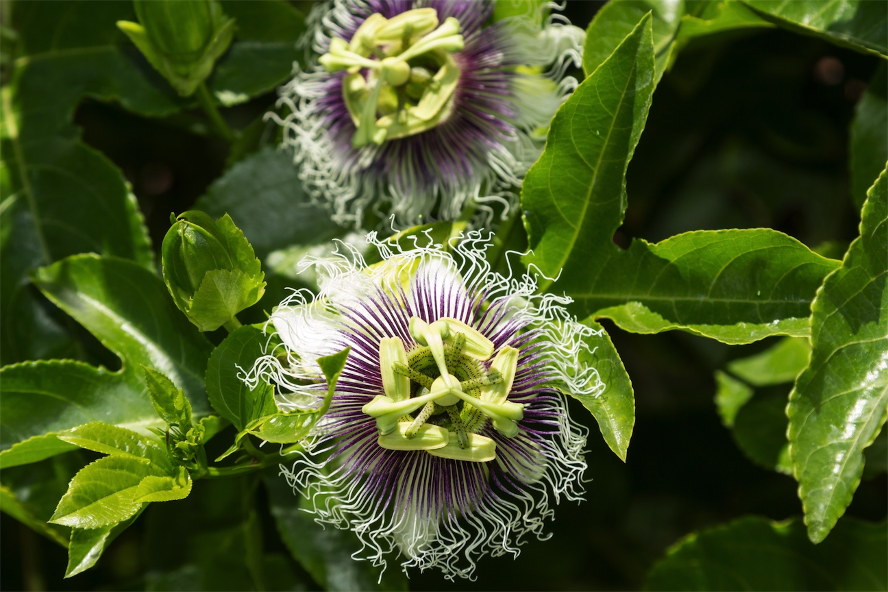 passionflower for insomnia and anxiety